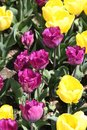 Close up Purple and yellow tulip bed in Spring Royalty Free Stock Photo