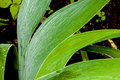 Close up of Rain Covered Bearded Iris Leaves Royalty Free Stock Photo