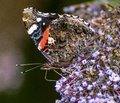Close up of Red Admiral Butterfly feeding on purple buddleia Royalty Free Stock Photo