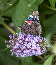 Close up of Red Admiral Butterfly wings folded feeding on purple buddleia Royalty Free Stock Photo