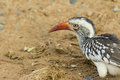 Close up Red billed hornbill on the ground Royalty Free Stock Photo