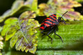 Close up of a red and black bug Royalty Free Stock Photo
