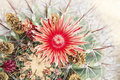Close up of red cactus flowers petal Royalty Free Stock Photo