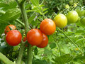 Close Up or Red Cherry Tomato Fruits on the Plant Royalty Free Stock Photo
