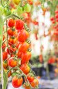 Close up red cherry tomatoes growing in organic farm Royalty Free Stock Photo