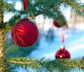 Close-up of red Christmas Baubles Balls hanging on pine tree branches Royalty Free Stock Photo