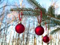 Close-up of red Christmas Baubles Balls hanging on pine tree branches. Royalty Free Stock Photo