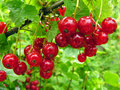 Close up of a red currant in the fruit garden Royalty Free Stock Photography