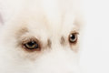 Close up on red eyes puppy Royalty Free Stock Photo