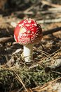 Close up of red Fly Amanita Amanita Muscaria in the forest in fall. Autumn colorful scene background in sunlight Royalty Free Stock Photo