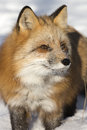 Close up red fox portrait in standing in snow in mountains Stock Photo