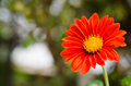 Close up of red gerbera Royalty Free Stock Photography
