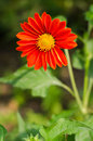 Close up of red gerbera Stock Photography