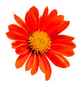 Close up of red gerbera Royalty Free Stock Images