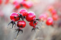 Close up of red hips in november Royalty Free Stock Photography