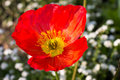 Close up of a red Iceland poppy Royalty Free Stock Photo