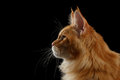 Close-up Red Maine Coon Cat in Profile view, Isolated Black Royalty Free Stock Photo
