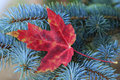 Close up of red maple leaf lying on pine tree Royalty Free Stock Photos