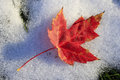 Close up of red maple leaf on snow Stock Image