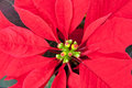 Close up of Red  poinsettia, Christmas flower. Stock Photo