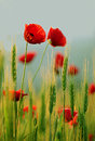 Close up of red poppy flowers in summer Stock Photos