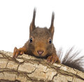 Close-up of a Red squirrel or Eurasian red squirrel, Sciurus vulgaris, hiding behind a branch Royalty Free Stock Photo