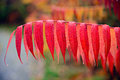 Close up of red sumac leaves a vibrant on a branch a plant during the autumn season Royalty Free Stock Images