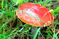 Close up of red toadstool growing in grass on forest floor Stock Images