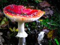 Close up of red toadstool, poisonous mushroom Royalty Free Stock Photo