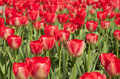 Close up red tulips in the garden Royalty Free Stock Photos