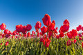 Close up red tulips in tulip field Royalty Free Stock Photo