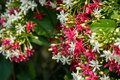 close up of red and white flower(Chinese honey Suckle, Rangoon C Royalty Free Stock Photo