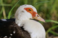 Close up of red white head of duck a Stock Photography