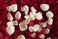 Close up of red and white rose petals. Floral background. Red rose stock photography. Styled marketing photography. Royalty Free Stock Photo