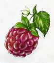 Close up respberry pencil drawing ripe red raspberry with a big leaf and a little flower drawn sketch colored Royalty Free Stock Photography