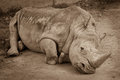 A close up of a rhino rhinoceros laying on the ground in the zoo sepia photo of rhino resting on the sandy ground Stock Photos