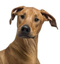 Close up of a Rhodesian Ridgeback Stock Images