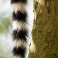 Close up of a ring-tailed lemur tail texture Royalty Free Stock Photo