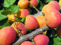 Close up of the ripe apricots in orchard Royalty Free Stock Photos