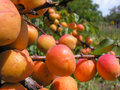 Close up of the ripe apricots in orchard Royalty Free Stock Photo