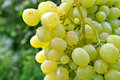 Close up of ripe grapes in the garden Stock Photography
