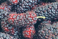 Close up ripe mulberry fruit Stock Photography