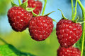 Close-up of ripe raspberry Royalty Free Stock Photography