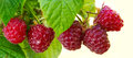 Close-up of the ripe raspberry in the fruit garden. Royalty Free Stock Photo