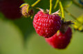 Close-up of the ripe raspberry Royalty Free Stock Photo