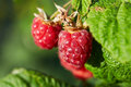 Close up of ripe red raspberries Royalty Free Stock Photo