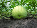 Close-up of ripening watermelon Stock Image