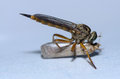 Close up of a robber fly eating like vampire Royalty Free Stock Photo