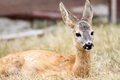 Close up of a roe deer fawn closeup capreolus Royalty Free Stock Photography