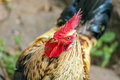 Close-up of Rooster head Royalty Free Stock Photo